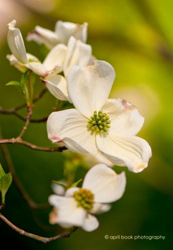 springblossoms_003 web