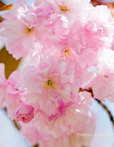 springblossoms_011 web