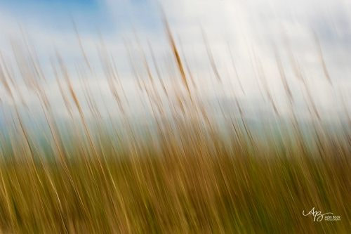 beach grass3 web