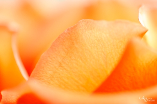 rose_0028 web