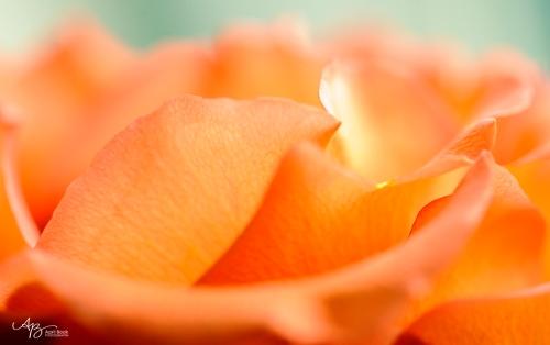 rose_0029 web