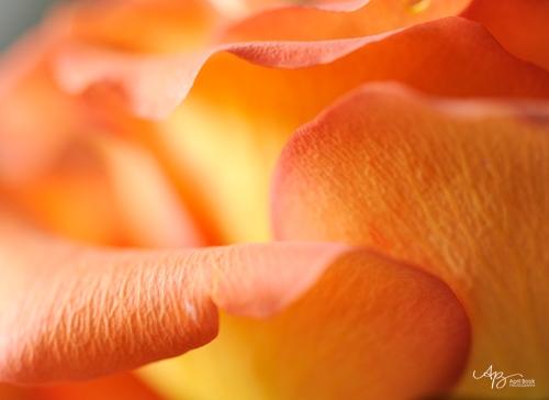rose_0054 web
